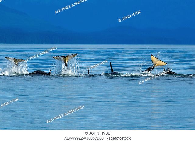 Orca whales playfully slap their tails at the surface in Chatham Strait, Inside Passage, Southeast Alaska, Summer