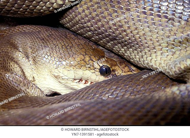 Close view of a carpet python Morelia spilota bredli curled up with its head and eye protruding through its mass of scales