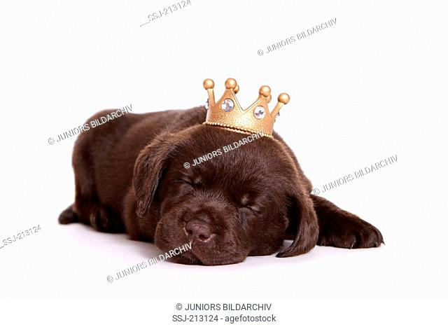 Labrador Retriever. Puppy (6 weeks old) sleeping, wearing a crown. Studio picture against a white background. Germany