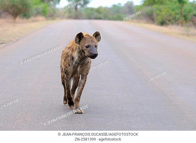 Spotted Hyena (Crocuta crocuta), walking on a tarred road, early in the morning, Kruger National Park, South Africa, Africa