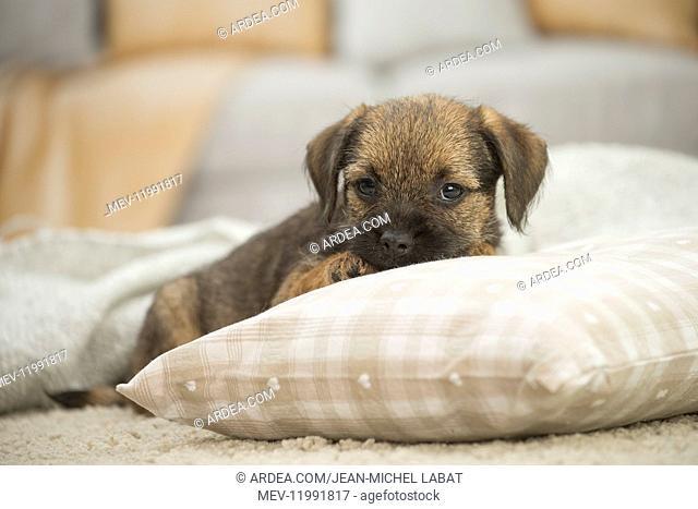 Border Terrier Dog, puppy