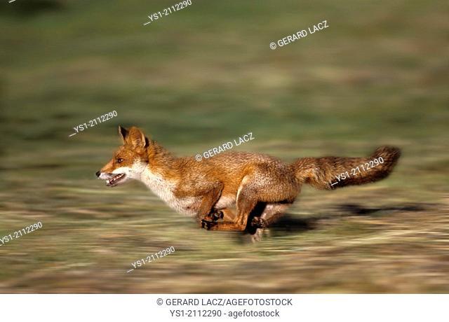Red Fox, vulpes vulpes, Adult running, Normandy