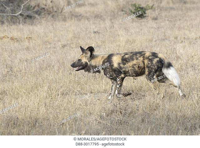 Africa, Southern Africa, South African Republic, Mala Mala Game Reserve, African wild dog or African hunting dog or African painted dog (Lycaon pictus), adult