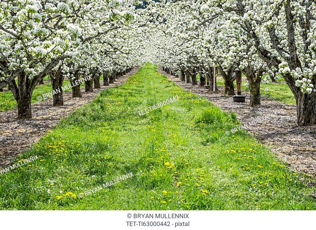 Apple trees blooming in orchard
