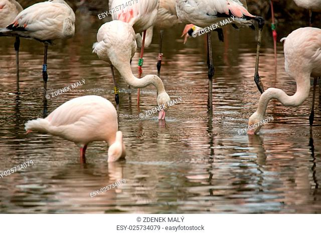 Beautiful pink American Flamingos in water Phoenicopterus Roseus