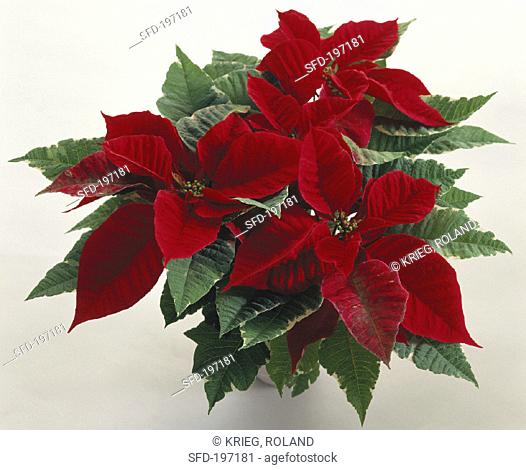 Poinsettia with brilliant red bracts