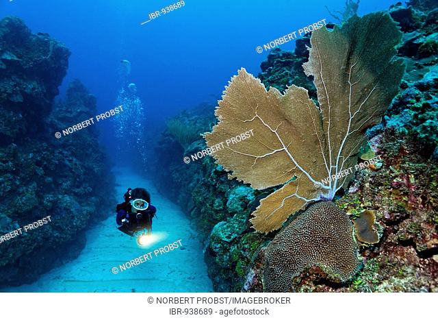 Scuba diver carrying a torch swims through a sandy bottomed channel between coral reefs and observes a Sea Fan coral (Gorgonia flabellum), barrier reef