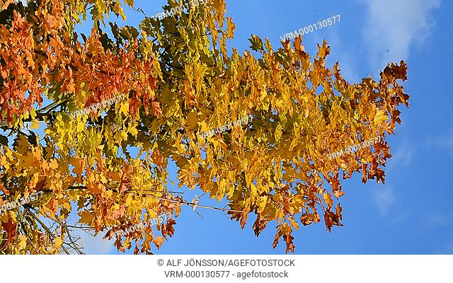 Maple in autumncolor