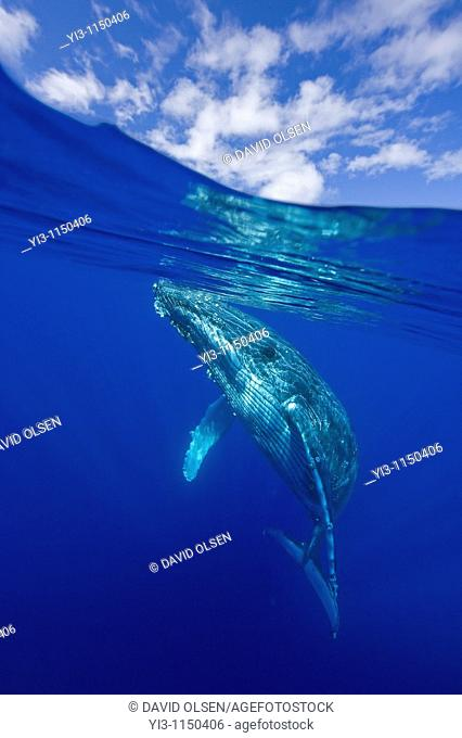 Above and below view of humpback whale, Maui, Hawaii, USA