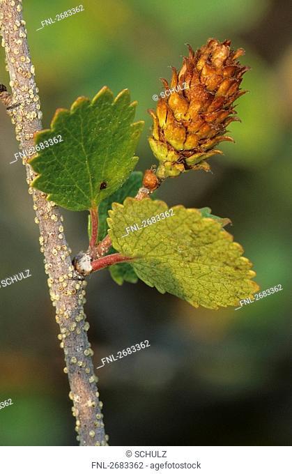 Close-up of leaves of Dwarf Birch, Denali National Park, Alaska, USA
