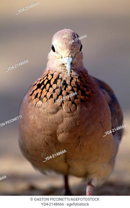 Cape Turtle-Doves (Streptopelia capicola), Kruger National Park, South Africa