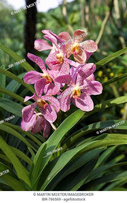 Speckled orchid (Orchidacae), botanical gardens, National Orchid Garden, Singapore, Southeast Asia