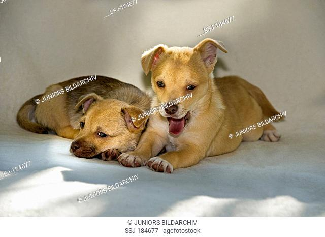 Chihuahua-Mix. Two puppies (8 weeks old) lying on a blanket
