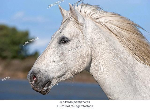 Camargue horse, portrait, Bouches du Rhône, France, Europe