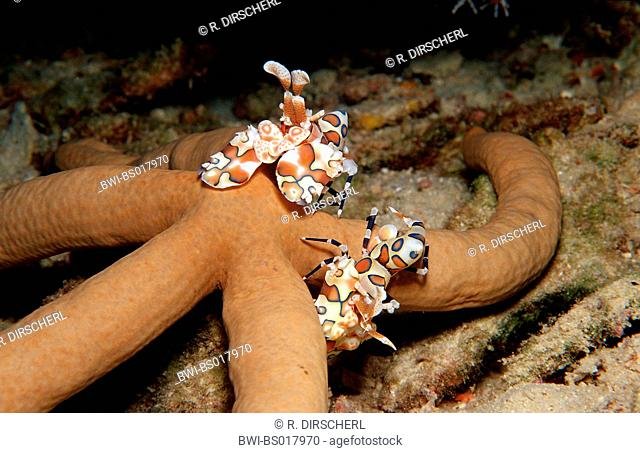 western harlequin shrimp (Hymenocera elegans), two animals feeding a starfish, Maldives, Ari Atoll