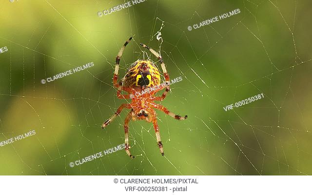 A female Marbled Orbweaver (Araneus marmoreus) spider waits on its web for prey