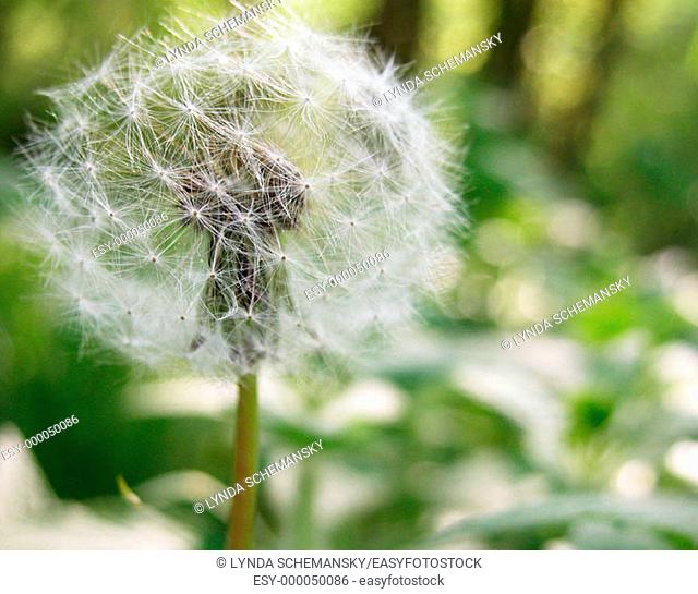 Dandelion (Taraxacum officinale) seed head