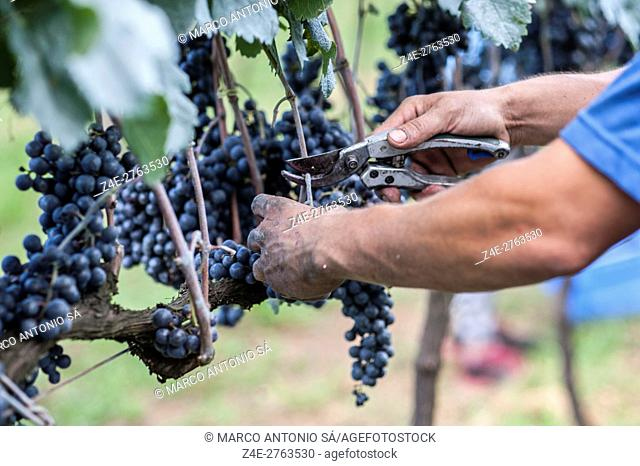 Manual grape harvest - RS - Brazil