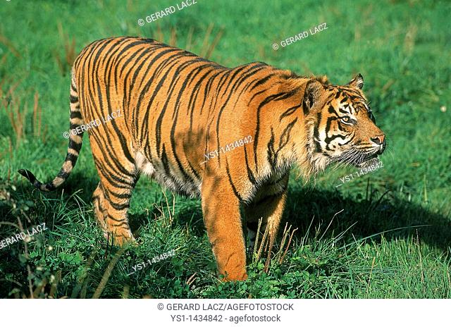 SUMATRAN TIGER panthera tigris sumatrae, ADULT STANDING ON GRASS
