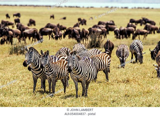 africa, tanzania, ngorongoro national park: gnu and zebra herd