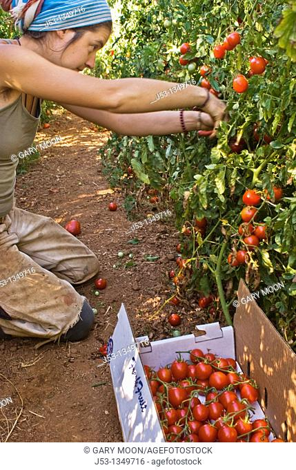 Young woman picking organic tomatoes on small organic farm, Nevada City, California