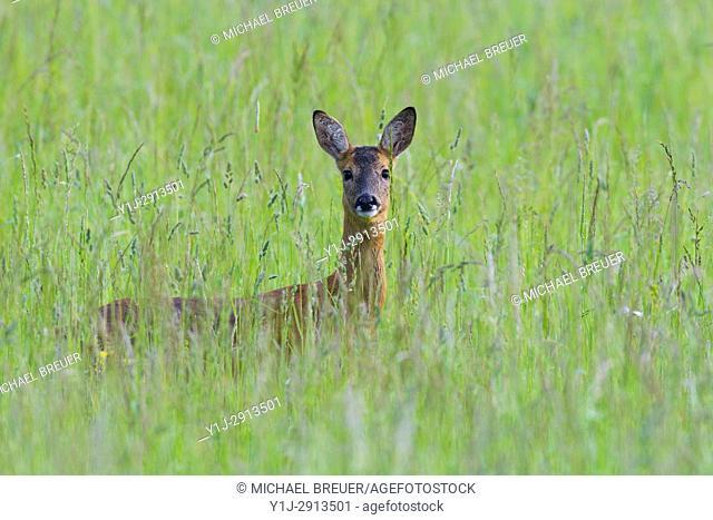 Western Roe Deer (Capreolus capreolus), Female, Summer, Hesse, Germany, Europe