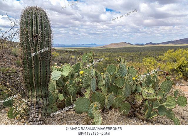Cactus landscape with young Saguaro cactus (Carnegiea gigantea) and Engelmann's Prickly Pear Cactus (Opuntia engelmannii), mountains behind, Sonoran Desert