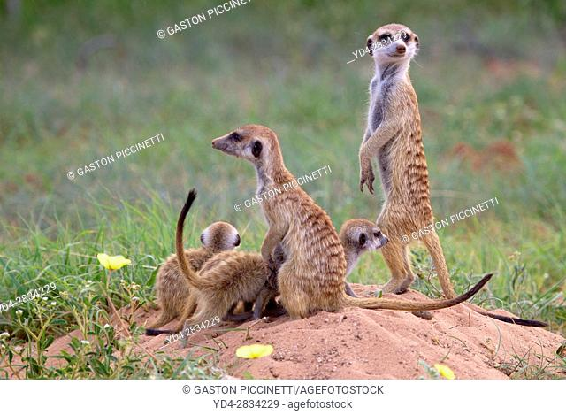Suricate (Suricata suricatta), Kgalagadi Transfrontier Park, Kalahari desert, South Africa/Botswana