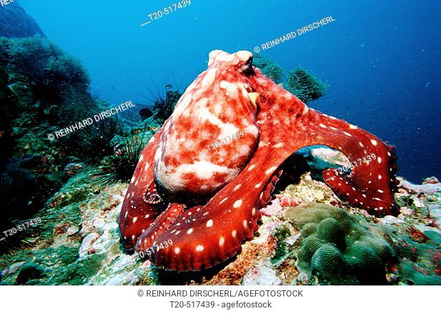 Octopus, Octopus vulgaris. Indian ocean, Andaman sea. Myanmar