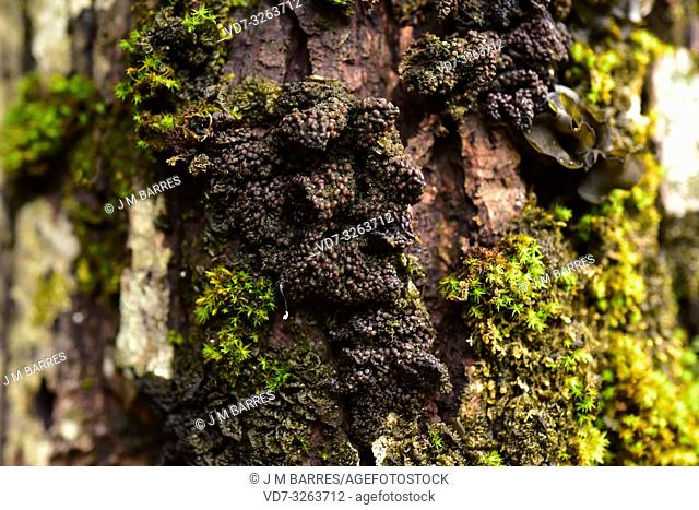 Collema nigrescens is a foliose jelly lichen found growing on the bark of trees. This photo was taken in Val d'Aran (Valle de Aran) , Lleida province, Catalonia