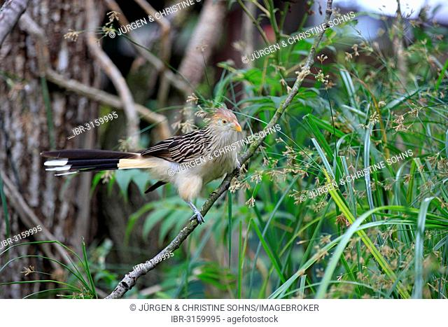 Guira Cuckoo (Guira guira) adult, native to South America, captive, Heidelberg, Baden-Württemberg, Germany