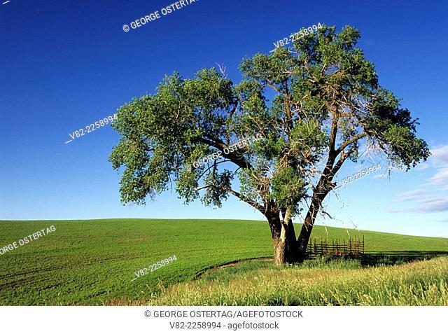 Palouse cottonwood, Whitman County, Washington