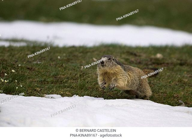 Alpine Marmot Marmota marmota - Alps, Hautes-Alpes, Provence-Alpes-Côte d'Azur, France, Europe