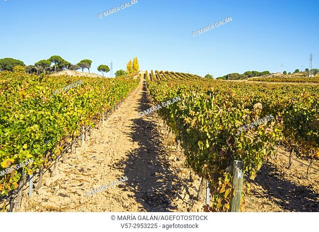 Vineyard in Autumn. Peñafiel, Valladolid province, Castilla Leon, Spain