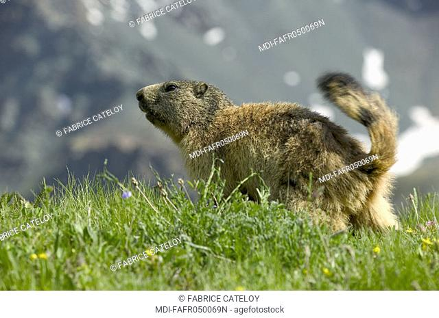 In the natural regional park of Queyras, marmot looking for food in the grass