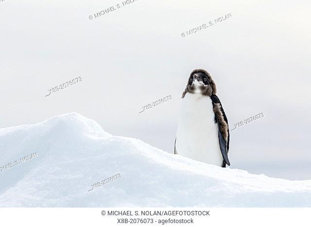 Adélie penguin chick, Pygoscelis adeliae, Brown Bluff, Antarctica, Southern Ocean