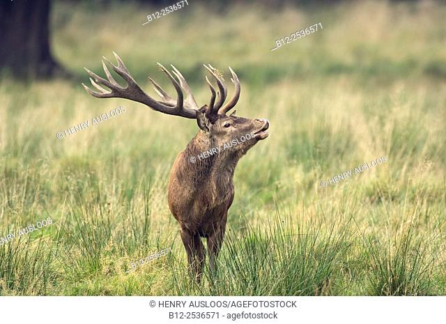 Red Deer smelling the smells, Denmark, Cervus elaphus