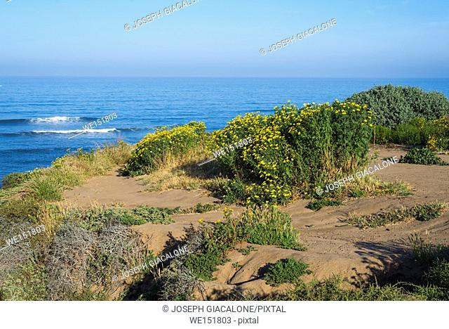 Looking down on the Pacific Ocean and and wildflowers at Sunset Cliffs Natural Park in San Diego, California