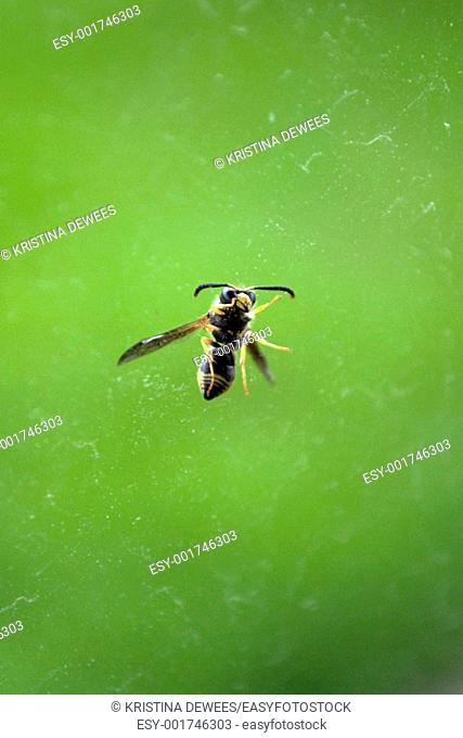 A Wasp on glass