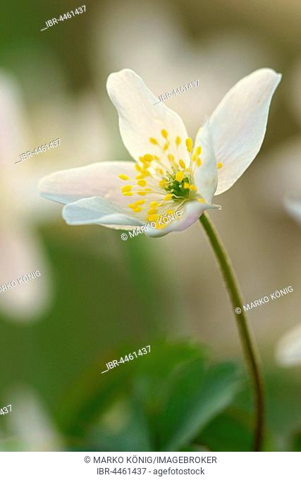 Windflower (Anemone nemorosa), Hesse, Germany