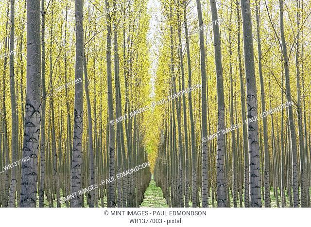 Rows of commercially grown poplar trees on a tree farm, near Pendleton, Oregon