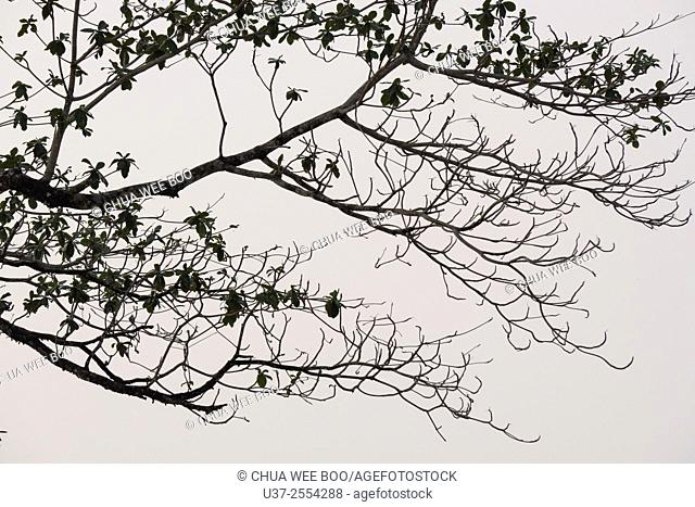 Tree branches and leaves at Siar Beach, Lundu, Sarawak, Malaysia