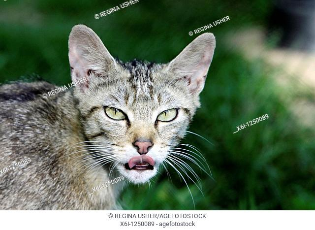 Wild Cat Felis silvestris, portrait of animal, Germany