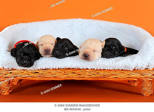 Labrador retriever, yellow and black, puppies 10 days, sleeping side by side on dog sofa, Austria
