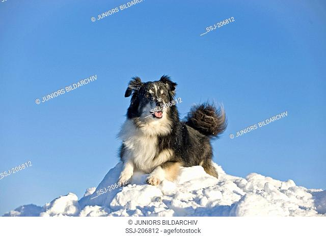 Icelandic Sheepdog. Black and white longhaired adult lying on a heap of snow. Germany