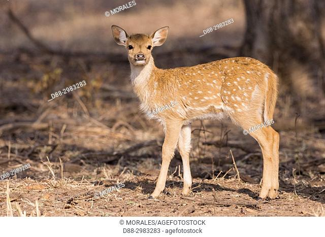 Asia, India, Rajasthan, Ranthambore National Park, Chital or Cheetal or Chital deer, Spotted deer or Axis deer( Axis axis), baby