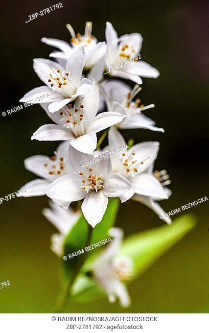 Deutzia crenata 'Aurea', a dwarf flowering shrub