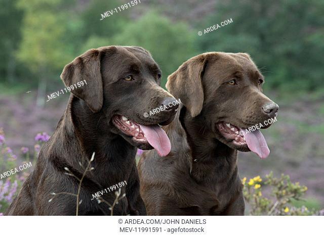 DOG. 2x Chocolate labrador Retrievers sitting in Heather