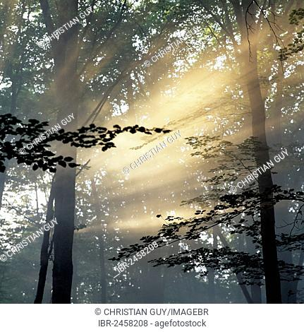 Rays of sunlight in oak forest, Forêt de Tronçais or Forest of Tronçais, Allier, Bourbonnais, Auvergne, France, Europe