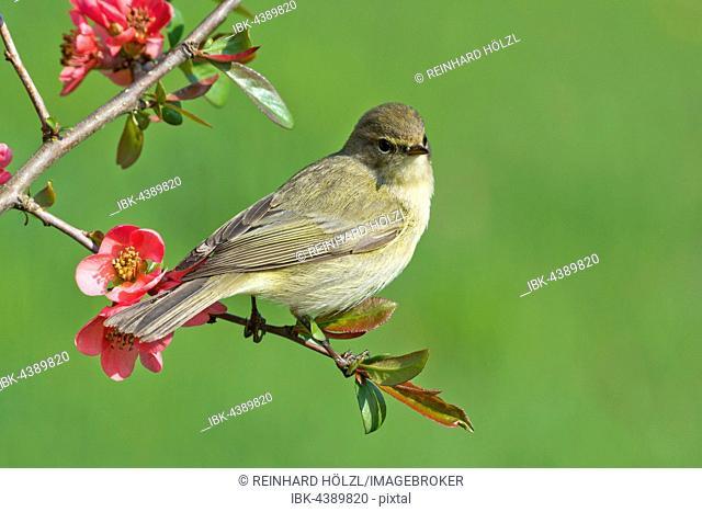 Chiffchaff (Phylloscopus collybita), bird, perched, flowering branch, Burgenland, Austria